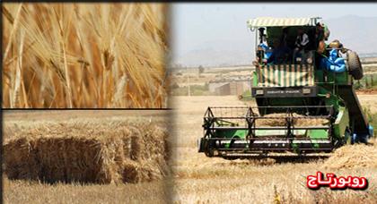 الدريوش.. إنطلاق موسم الحصاد وتوقعات بتحقيق نسبة محاصيل مشجعة هذه السنة