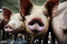 سؤال وجواب عن إنفلونزا الخنازير