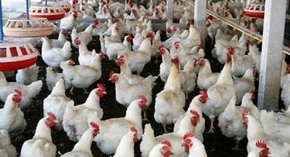 فيدرالية الدواجن توضح حقيقة رفض الاتحاد الأوربي لاستيراد الدجاج المغربي