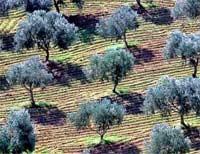 مخطط المغرب الأخضر.. غرس أزيد من 40 ألف هكتار بأشجار الزيتون في أفق 2019 باقليم الناظور