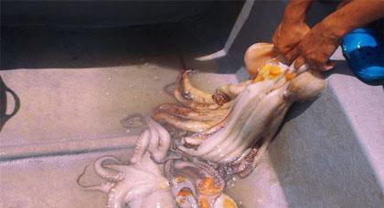 إستمرار نشاط صيد الأخطبوط بسواحل أولاد أمغار رغم دخول فترة الراحة البيولوجية