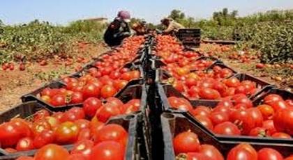 خطير.. مبيدات مسرنطة للطماطم تستعمل بالمغرب