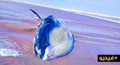 حوت ضخم يزن الأطنان لفظه البحر ميتا وجرفته الأمواج نحو رمال الشاطئ