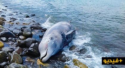 أمواج البحر تلفظ حوتا ضخما يفوق وزنه 900 كلغ بجماعة تروكوت