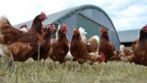 """الأطباء البياطرة يكشفون حقيقة احتواء الدجاج """"الكروازي"""" على مواد خطيرة"""