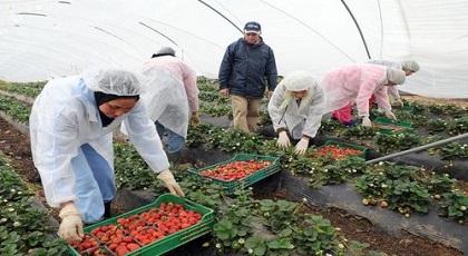 """إسبانيا تقرر مضاعفة أعداد """"المغربيات"""" للاشتغال في حقول الفراولة"""