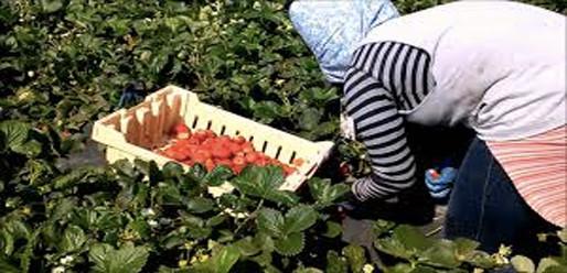 """أزيد من 2000 عاملة مغربية في حقول الفرولة يخترن """"الحريك"""" على العودة"""