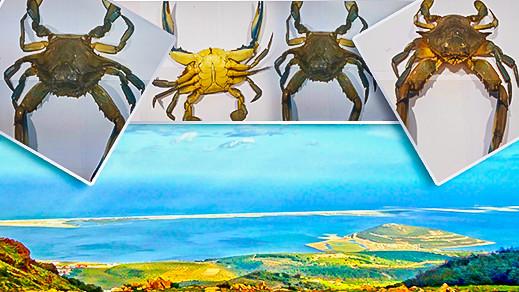 بالصور.. ظهور نوع دخيل من القشريات البحرية ببحيرة مارتشيكا بالناظور