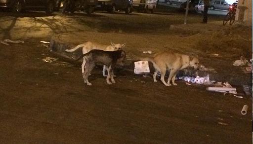 بالصور.. جحافل الكلاب الضالة تهدد حياة المواطنين وتقض مضاجع ساكنة الناظور بنباحها الذي لا ينقطع