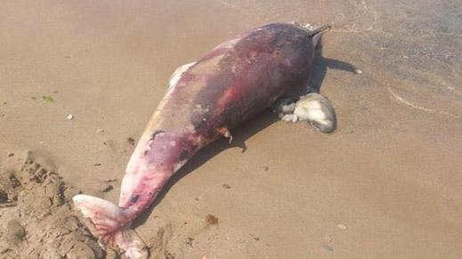 """بحر الحسيمة يلفظ دلفينا ضخما من نوع """"النيغرو"""""""