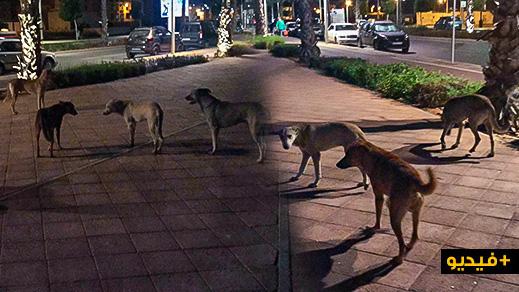 شاهدوا.. انتشار الكلاب الضالة وسط كورنيش الناظور دون تدخل من الجهات المعنية