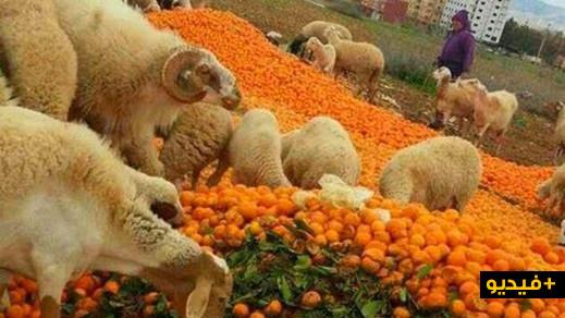 """شاهدوا.. إتلاف أطنان من فاكهة """"الماندرين"""" لرفع ثمنها في الأسواق"""