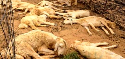 اقتراب وباء الطاعون وسط الماشية بالجهة الشرقية يستنفر وزارة الفلاحة