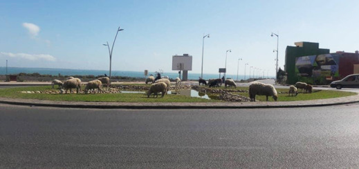 رعي الأغنام وسط مدينة الناظور يثير غضب مستعملي طريق ترقاع – بني انصار