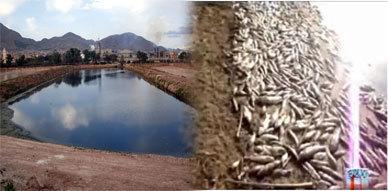 تحليلات مخبرية تؤكد نفوق أسماك ملوية نتيجة انخفاض الأوكسجين