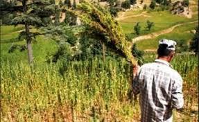 """رئيس الغرفة الفلاحية بجهة الحسيمة يدعو لتقنين زراعة """"الكيف"""" للاستفادة من منافعه"""