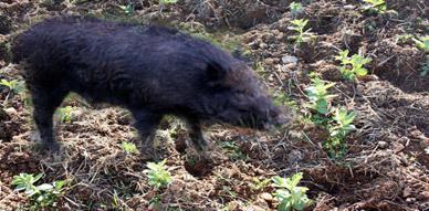 """دوار """"إقبالن"""" بالجماعة القروية تمسمان تحت رحمة الهجمات المتكررة للخنزير البري"""