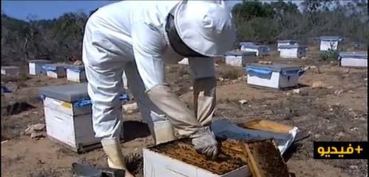 شاهدوا بالفيديو.. 37 تعاونية تعمل في قطاع تربية النحل بإقليم الناظور