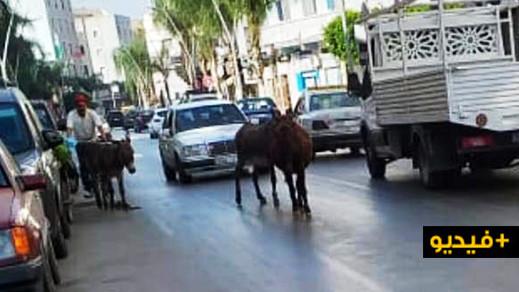 شاهدوا.. قطعان الحمير تزاحم الساكنة في شوارع مدينة الناظور