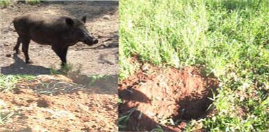 الخنزير البري يواصل هجماته على الأراضي الفلاحية بدوار بويخباش بأركمان