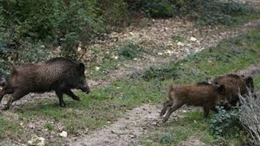 ساكنة دواوير بجماعة الكبداني تستكي من انتشار الخنزير البري