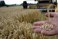 جمع 22.2 مليار قنطار من الحبوب خلال شهر مارس