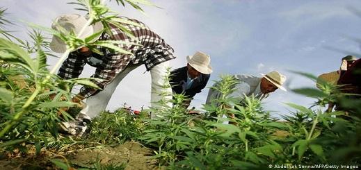 """قيادي بامي: حكومة """"العثماني"""" وافقت على مناقشة مقترح """"البام"""" بتقنين زراعة القنب الهندي"""