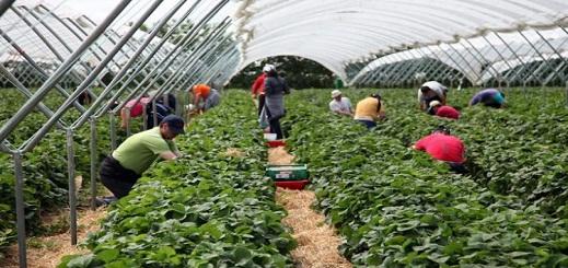 فوج مكون من 600 عاملة تصل الى إسبانيا للعمل في حقول الفراولة