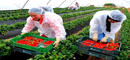 مسؤول: لم يتم تسجيل اية إصابة بفيروس كورونا وسط عاملات الفراولة المغربيات في إسبانيا