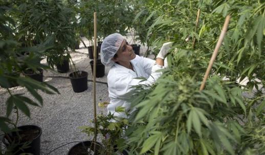 """مشروع تقنين """"الكيف"""".. الترخيص لأربعة أقاليم بزراعة النبتة الخضراء"""
