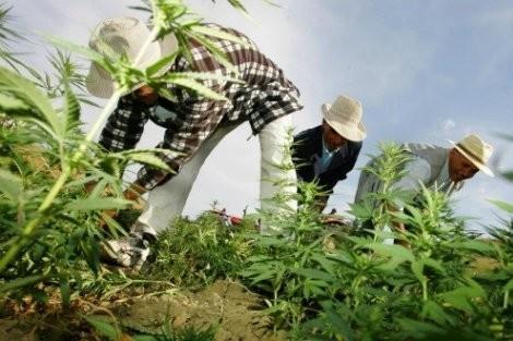 """مقترح قانون يخص تقنين """"الوشاية الكاذبة"""" ضد مزارعي """"الكيف"""""""