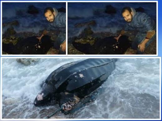 انقاذ حياة سلحفاة سوداء ضخمة وقعت ضحية الصيد الشبحي بالحسيمة