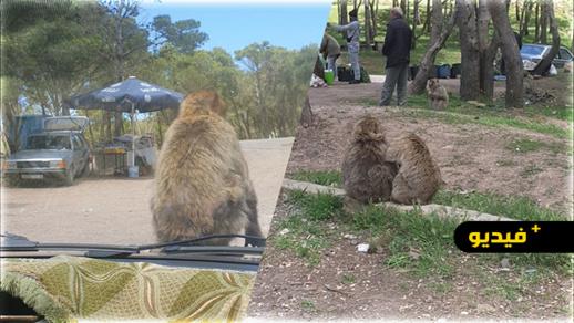 مؤثر.. القردة بغابة كوروكو تموت جوعا وسط مطالب بزيارتها