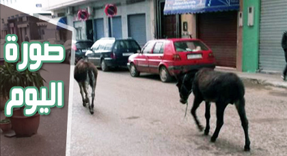 صورة اليوم : الحمير تتجول في المدينة مثل المواطنين.. والناظور تتحول إلى حظيرة حيوانات