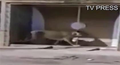 شاهدوا فيديو اللبؤة التي فرت من قفص السيرك بمدينة السعيدية