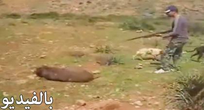 شاهدوا الفيديو المثير عن اصطياد الخنازير في منطقة حاسي بركان