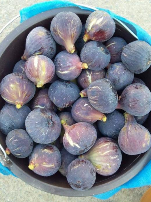 """فلاحون لناظورسيتي : محصول فاكهة الجنة """"التين"""" ضعيف هذه السنة"""