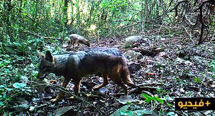 لأول مرة بالناظور.. ذئبان من شمال إفريقيا يعيشان بإحدى الغابات المجاورة