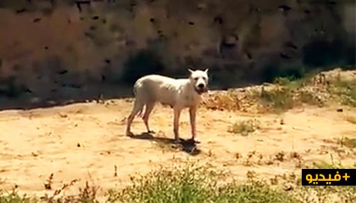 """خطير.. كلب """"بيتبول"""" متخلى عنه يتجول أمام أعين السلطات بمدينة الناظور"""