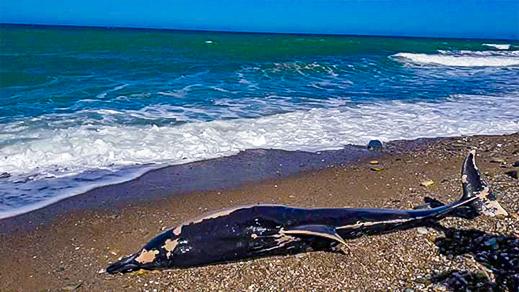 أمواج البحر تلفظ حوتا ضخما بشاطئ سيدي إدريس بتمسمان