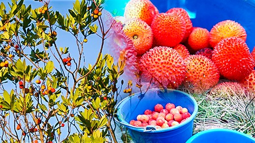 صور.. الساسنو فاكهة حمراء اللون زاهية تغري المارين بمحاذاة غابة جبل القرن بتمسمان
