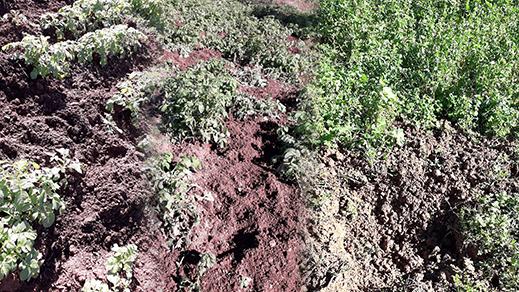 بالصور.. قطيع الخنزير البري يخرب الفلاحة المعيشية لساكنة جماعة إجرماوس باقليم الدريوش