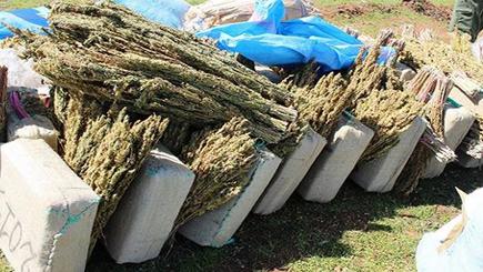 ضبط 100 طن من نبتة الكيف مخبأة  داخل ضيعة فلاحية