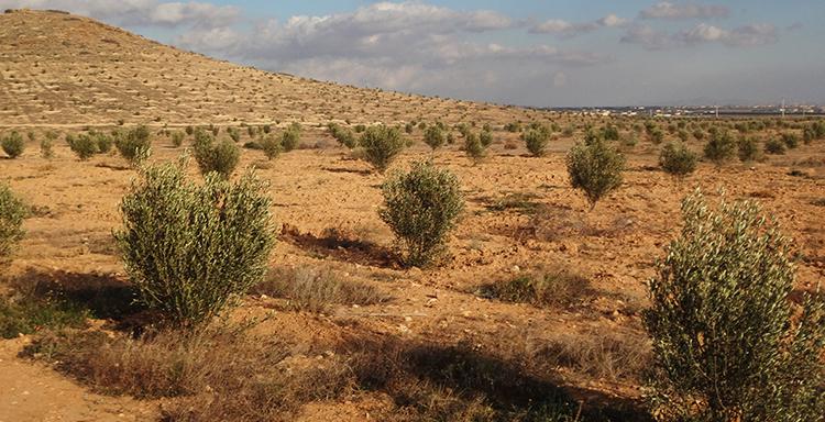 غرس أشجار الزيتون بالدريوش: ما يناهز 20 ألف هكتار إضافية بين 2010 و2020