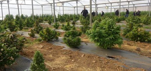 مجلس جهة طنجة الحسيمة يخصص ميزانية لدراسة مميزات نبتة الكيف