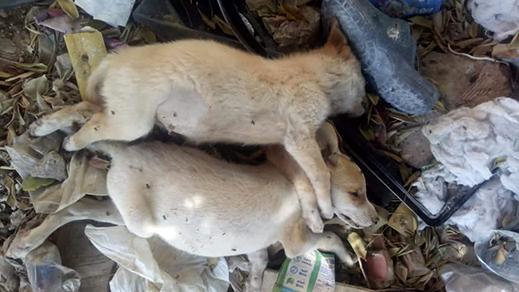 إبادة الكلاب الضالة باستعمال الرصاص يغضب ساكنة مدينة الناظور