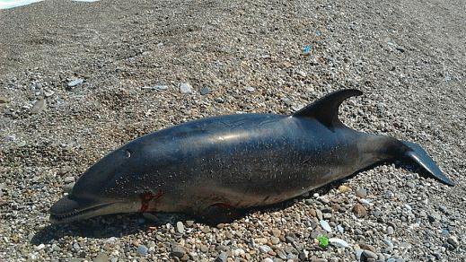 شاطئ سيدي عمار اوموسى بتازغين يلفظ حوت دلفين