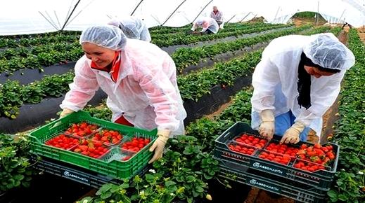 ابتداء من شهر يناير 2020: إسبانيا ترغب في تشغيل أزيد من 16 ألف عاملة مغربية بحقول الفراولة