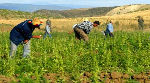 """تقرير لوزارة الداخلية يسجل تراجع كبير في الأراضي المخصصة لزراعة """"الكيف"""" بجهة طنجة الحسيمة"""
