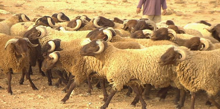 وزارة الفلاحة تكشف عن حزمة من التدابير لحماية الماشية بجهة الشرق